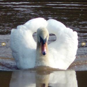 Tijdelijk grafdoek met een witte zwaan op het water. HB-grafdoeken onderdeel van HB-Creations uit Tilburg (Reeshof)